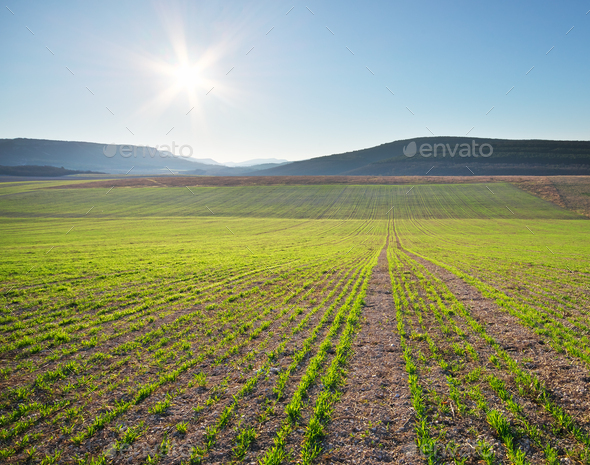 Sunrise in green meadow of young wheat. - Stock Photo - Images