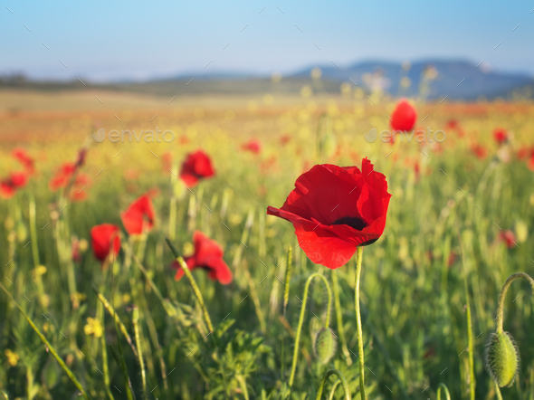 Red poppy flower portrait in meadow. - Stock Photo - Images