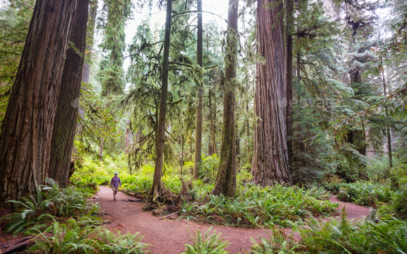 Redwoods - Stock Photo - Images