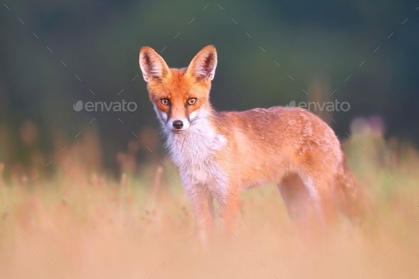 Red fox on a meadow looking attentively with blurred green background - Stock Photo - Images