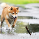 Shiba inu dog retrive a stick - PhotoDune Item for Sale