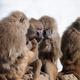 gossip monkey - PhotoDune Item for Sale