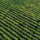 Aerial view of sugarcane plants at field in winter - PhotoDune Item for Sale