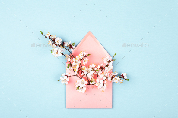 Blossoming Branches in Pink Envelope on Blue Background. - Stock Photo - Images
