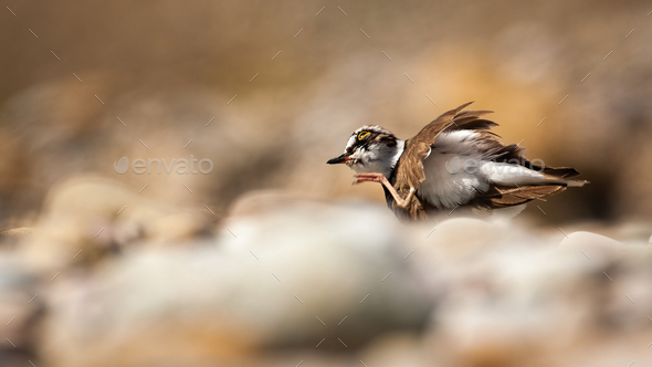 Little ringed plover scratching a itch with leg in summer - Stock Photo - Images