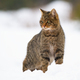 Dominant european wildcat, felis silvestris on snow in winter - PhotoDune Item for Sale