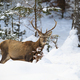 Male red deer with antlers in forest with snow in wintertime - PhotoDune Item for Sale