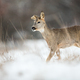 Roe deer doe with a broken ear walking through snow on a meadow in winter - PhotoDune Item for Sale