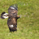 Golden eagle, aquila chrysaetos, flying over meadow with green grass in summer - PhotoDune Item for Sale