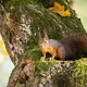 Red squirrel looking down from a tree in autumn with copy space - PhotoDune Item for Sale