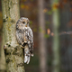 Wild ural owl observing from a tree in forest with copy space - PhotoDune Item for Sale