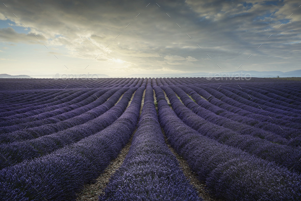 Lavender flower blooming fields endless rows at sunset. Valensole provence - Stock Photo - Images
