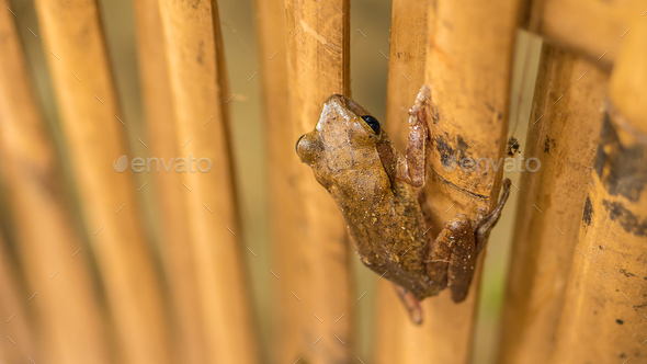 Close up of Beautiful Frog on Dry Bamboo Stick. Top Short Perspective. Koh Tao, Thailand - Stock Photo - Images