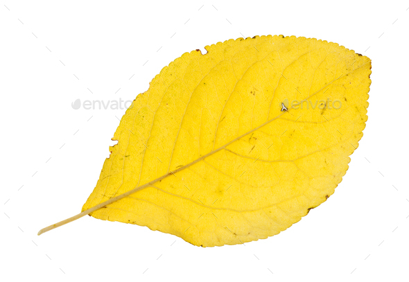 back side of fallen yellow leaf of plum tree - Stock Photo - Images