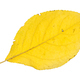 back side of fallen yellow leaf of plum tree - PhotoDune Item for Sale
