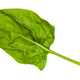 fresh leaf of spinach herb isolated on white - PhotoDune Item for Sale