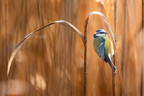Eurasian blue tit - Stock Photo - Images