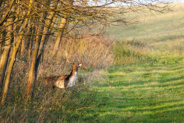 Fallow deer - Stock Photo - Images
