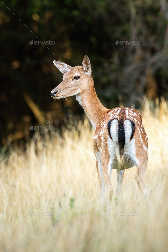 Female fallow deer with black tail standing on a grassy meadow from behind - Stock Photo - Images