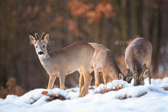 Three roe deer bucks feeding and looking in winter nature - Stock Photo - Images
