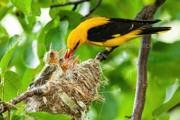 Yellow golden oriole feeding its younglings on nest in summer - Stock Photo - Images