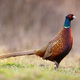 Side view of dominant common pheasant cock in spring time - PhotoDune Item for Sale