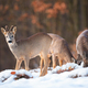 Three roe deer bucks feeding and looking in winter nature - PhotoDune Item for Sale