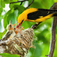 Yellow golden oriole feeding its younglings on nest in summer - PhotoDune Item for Sale