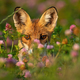 Close-up of a shy red fox hiding behind grass and flowers at sunrise - PhotoDune Item for Sale