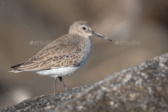 Dunlin - Stock Photo - Images