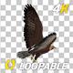 Golden Eagle - 4K Flying Loop - Back Angle - VideoHive Item for Sale