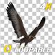 Golden Eagle - 4K Flying Loop - Side Angle - VideoHive Item for Sale