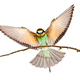 European bee-eater landing on a twig with wings spread wide isolated on white - PhotoDune Item for Sale