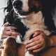Young beautiful woman hugging her pet - dog at home. Close up portrait. Bernese Mountain Dog - PhotoDune Item for Sale