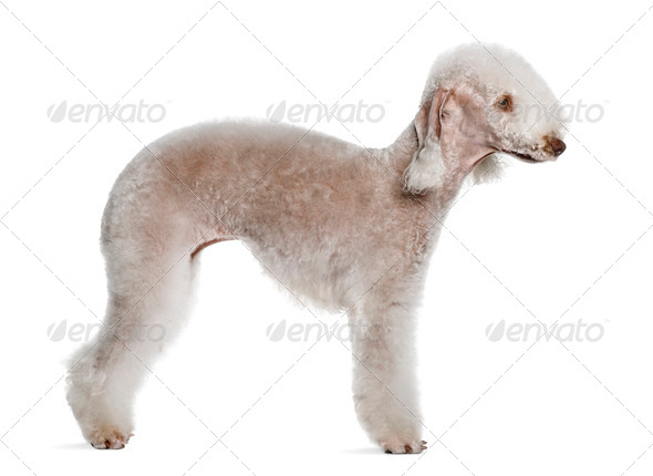 Bedlington terrier, 2 years old, standing in front of white background - Stock Photo - Images
