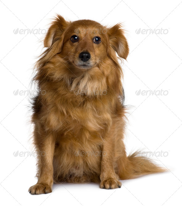 Crossbreed dog, 6 years old, sitting in front of white background - Stock Photo - Images