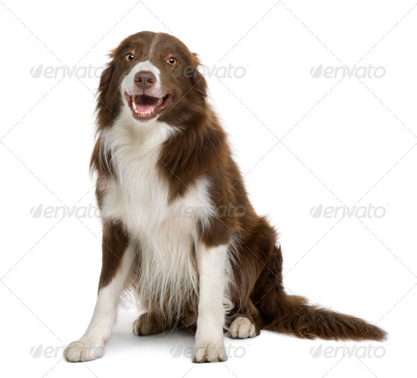 Border Collie, 4 years old, sitting in front of white background - Stock Photo - Images
