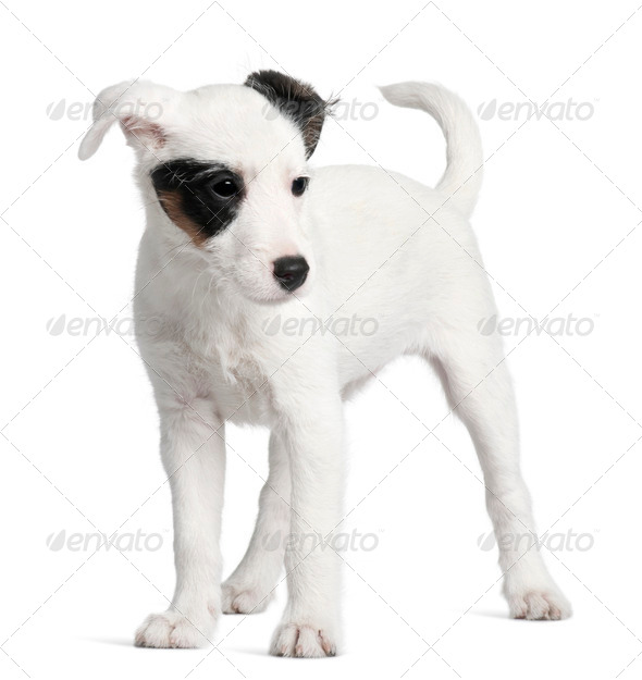 Parson Russell terrier, 3 months old, standing in front of white background - Stock Photo - Images