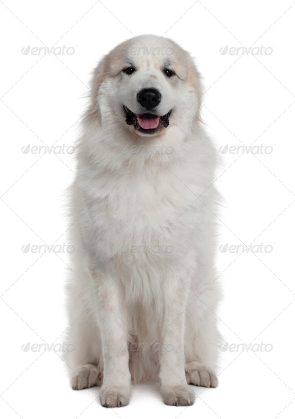 Great Pyrenees or Pyrenean mountain dog, 1 year old, sitting in front of white background - Stock Photo - Images