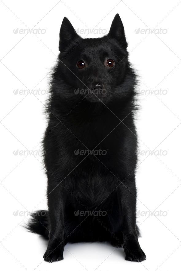 Schipperke dog sitting in front of white background, studio shot - Stock Photo - Images