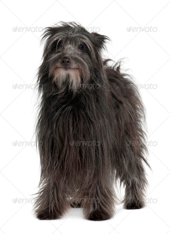 Pyrenean Shepherd dog standing in front of white background - Stock Photo - Images