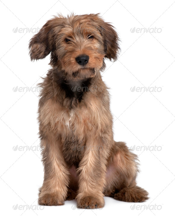 Briard dog, 3 Years Old, sitting in front of white background - Stock Photo - Images