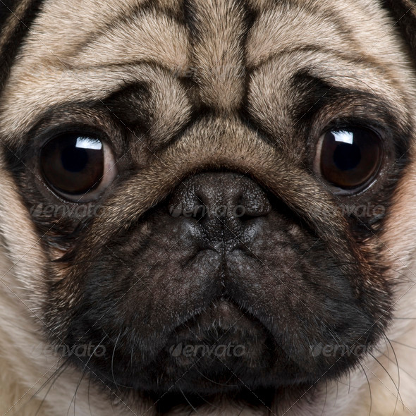 Close-up of Pug, 2 Years old - Stock Photo - Images