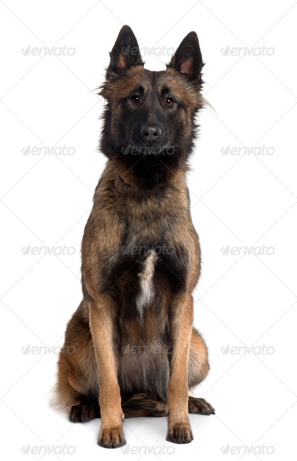 Tervuren dog, 1 Year Old, sitting in front of white background - Stock Photo - Images