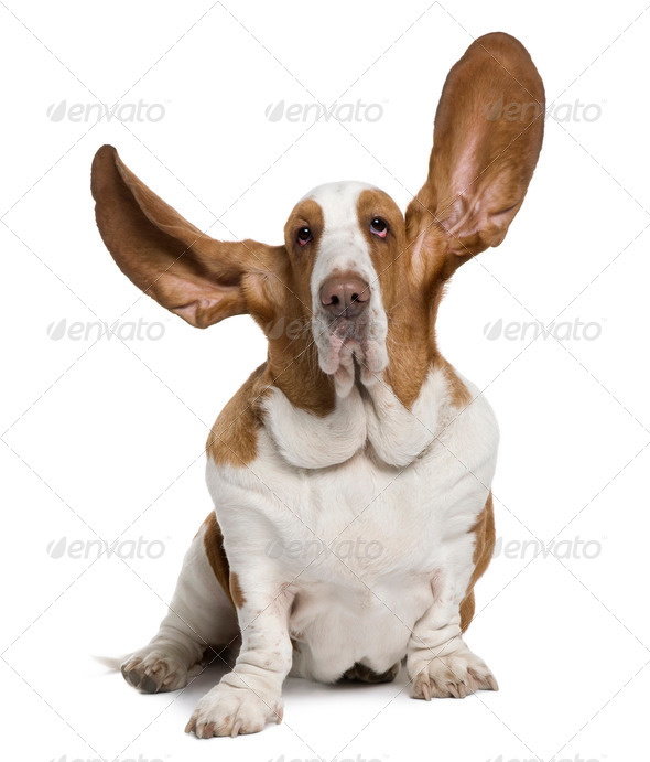 Basset Hound with ears up, 2 years old, sitting in front of white background - Stock Photo - Images