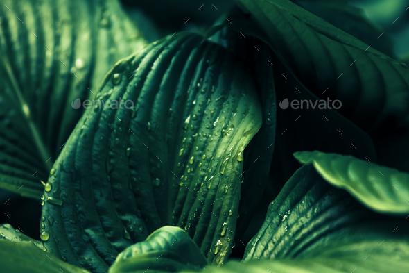big wet rainy leaves - Stock Photo - Images