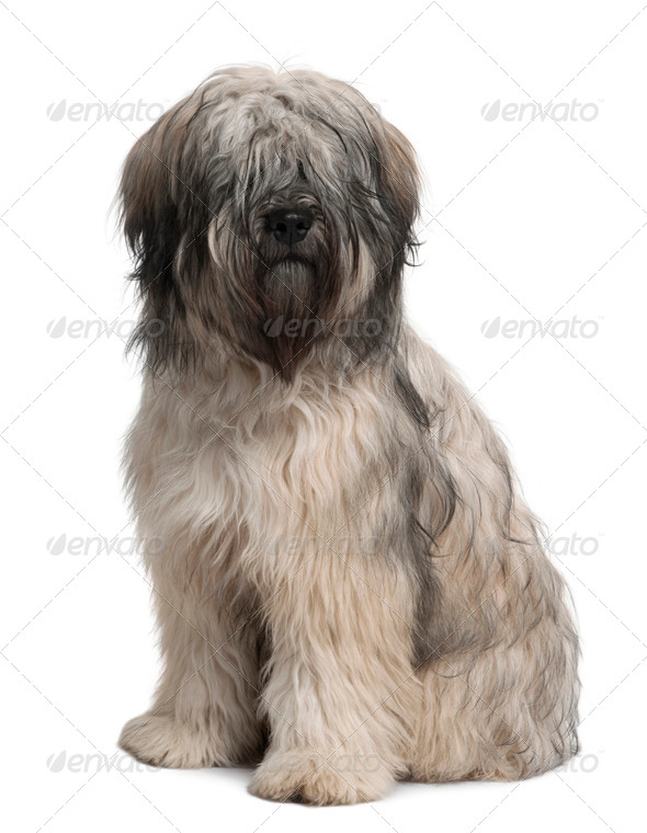 Catalan Sheepdog, 10 months old, sitting in front of white background - Stock Photo - Images