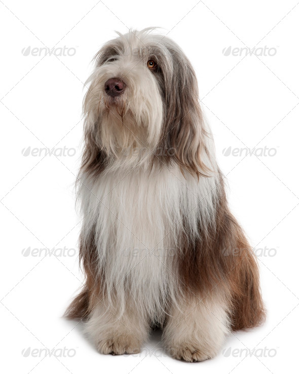 Bearded Collie, 3 Years Old, sitting in front of white background - Stock Photo - Images