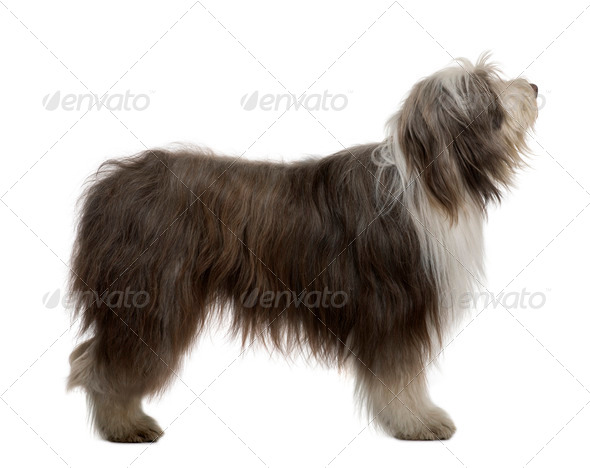Bearded Collie, 3 Years Old, standing in front of white background - Stock Photo - Images