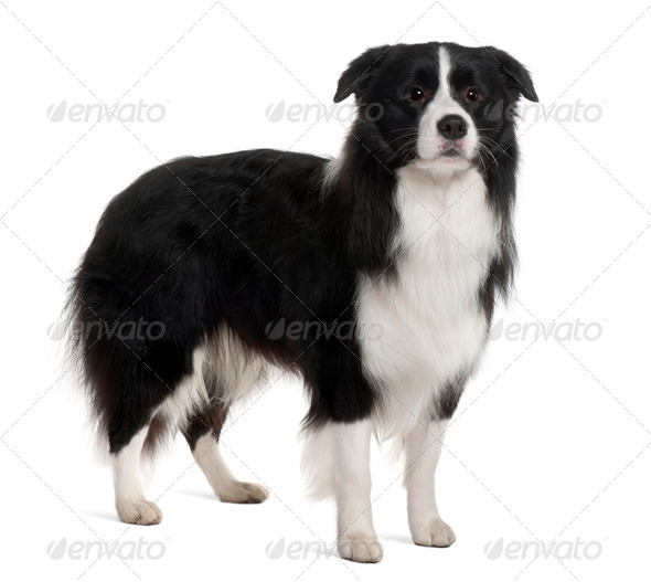 Bearded Collie, 1 Year Old, standing in front of white background - Stock Photo - Images
